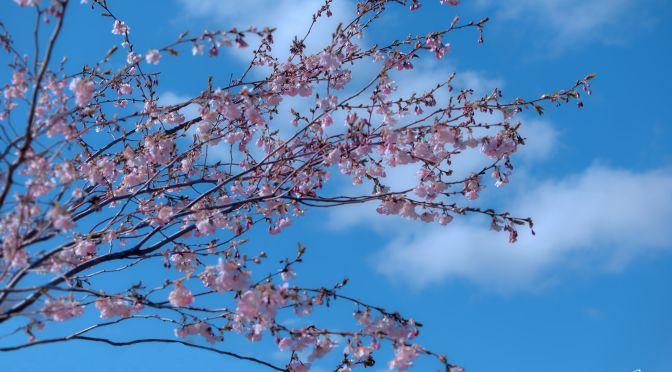 Kirsikkapuut kukkii